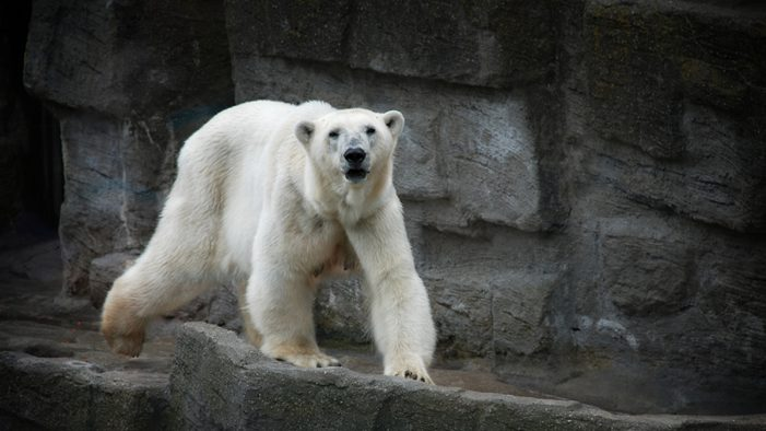 Polar Bears Being Wiped Out As Part of Intelligent Design, Insists Local Kansas School Board