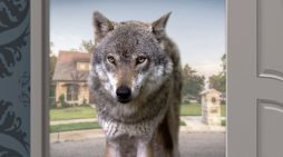 Wolf At The Door Breaks In, Takes Man's PlayStation