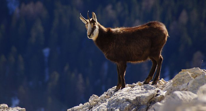 Mountain Goat Prepares TED Talk, Expects 20 Million Views