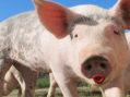 In Bid To Win Senate Votes, Trumpcare Will Reimburse Pigs For Cost Of Lipstick