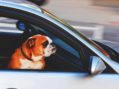 Dogs Looking Forward To Driverless Cars So They Can Chase Other Cars
