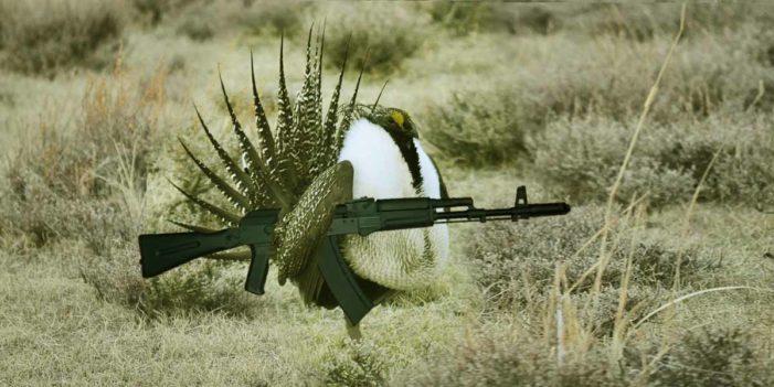 Sage Grouse Prepare To Defend Alaskan Territory